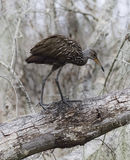 Limpkin Bird Stock Images
