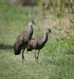Limpkin Birds Royalty Free Stock Photo
