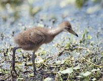 Limpkin Chick Stock Images