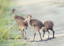 Limpkin Chicks in Florida Wetlands Royalty Free Stock Image