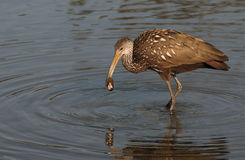 Limpkin with clam Stock Image