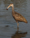 Limpkin with clam Stock Images
