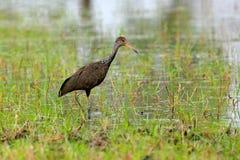Limpkin courlan, guarauna del Aramus, pájaro en hierba del agua Sol de la tarde, pájaro motteled con la igualación detrás de la l fotos de archivo libres de regalías