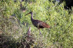 A limpkin or crying bird, Aramus guarauna Royalty Free Stock Images