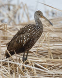 Limpkin in Dead Cattails - Florida Royalty Free Stock Photos