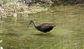 Limpkin in den Florida-Sumpfgebieten Stockfotografie