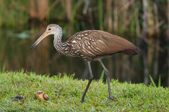 Limpkin eating snail Royalty Free Stock Images
