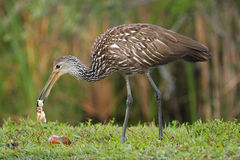 Limpkin eating snail Royalty Free Stock Photo