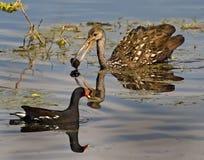 Limpkin, Ente und Schnecke Stangen-der Ranch an des Kreis-B stockfotografie
