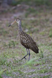 Limpkin Stock Photography