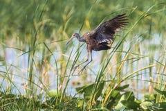 Limpkin In Flight Royalty Free Stock Photo