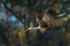 Limpkin in flight Royalty Free Stock Photo