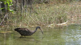 Limpkin in the Florida Everglades stock video