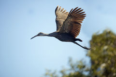 Limpkin flying over a swamp in Orange County, Florida. Royalty Free Stock Image