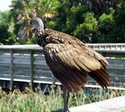 Limpkin (guarauna d'Aramus) photographie stock libre de droits