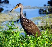 Limpkin (guarauna d'Aramus) photo libre de droits