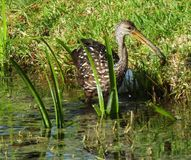 Limpkin (guarauna d'Aramus) photos stock