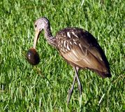 Limpkin (guarauna d'Aramus) photo stock
