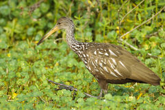 Limpkin (guarauna d'Aramus) Photos libres de droits