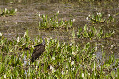 Limpkin ha cammuffato fra i giacinti d'acqua e Muddy Marsh Fotografia Stock Libera da Diritti