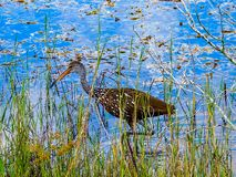 Limpkin, hunting apple snails in a tropical pond royalty free stock photo