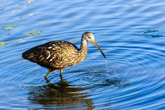 Limpkin Royalty Free Stock Photos