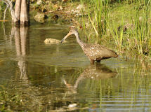 Limpkin in a lake Royalty Free Stock Images