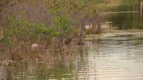 Limpkin nei terreni paludosi di Florida archivi video
