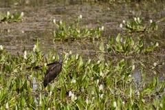 Limpkin onder Waterhyacinten en Muddy Marsh dat wordt gecamoufleerd Royalty-vrije Stock Fotografie