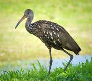 Limpkin - pájaro raro de la Florida imagen de archivo libre de regalías
