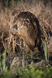 Limpkin Preening Royalty Free Stock Photo
