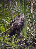 Limpkin Returns to Wakulla Springs Royalty Free Stock Photography