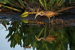 Limpkin searching for apple snails, south Florida stock photography