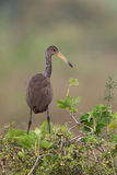 Limpkin standing on a bush Royalty Free Stock Photo