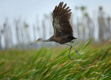 Limpkin taking off in the Orlando Wetlands Park, Florida. Stock Images