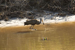 Limpkin wading along canal in Lake Kissimmee Park, Florida. Royalty Free Stock Images