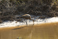Limpkin wading along canal in Lake Kissimmee Park, Florida. Stock Images