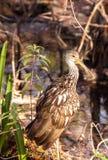 Limpkin wading bird Aramus guarauna. In the Corkscrew Swamp Sanctuary of Naples, Florida Stock Photos