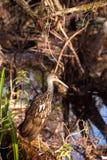 Limpkin wading bird Aramus guarauna. In the Corkscrew Swamp Sanctuary of Naples, Florida Royalty Free Stock Photos