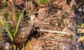 Limpkin wading bird Aramus guarauna. In the Corkscrew Swamp Sanctuary of Naples, Florida Royalty Free Stock Images