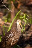 Limpkin wading bird Aramus guarauna. In the Corkscrew Swamp Sanctuary of Naples, Florida Royalty Free Stock Image