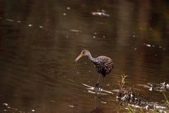 Limpkin wading bird Aramus guarauna. In the wetland and marsh at the Myakka River State Park in Sarasota, Florida, USA Royalty Free Stock Photo