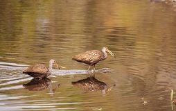 Limpkin wading bird Aramus guarauna. In the wetland and marsh at the Myakka River State Park in Sarasota, Florida, USA Royalty Free Stock Images