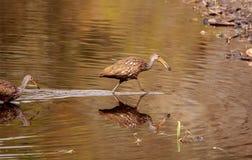 Limpkin wading bird Aramus guarauna. In the wetland and marsh at the Myakka River State Park in Sarasota, Florida, USA Stock Image