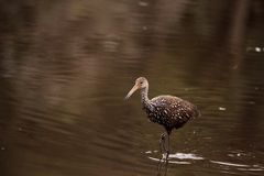Limpkin wading bird Aramus guarauna. In the wetland and marsh at the Myakka River State Park in Sarasota, Florida, USA Royalty Free Stock Photos