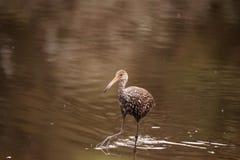 Limpkin wading bird Aramus guarauna. In the wetland and marsh at the Myakka River State Park in Sarasota, Florida, USA Stock Images
