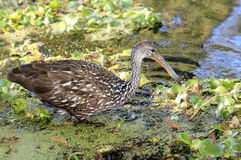 Limpkin Wading Through the Shallows Royalty Free Stock Images