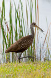 Limpkin Walking Royalty Free Stock Photography