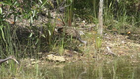 Limpkins in Florida. Limpkins in the Florida Everglades seen in 4K stock video footage