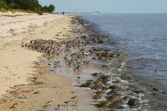 Limuli e shorebirds sulla spiaggia della collinetta del San Cristobal, Delaware immagine stock libera da diritti